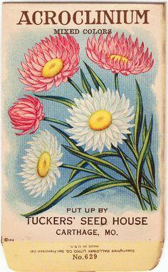 Vintage Flower Seed Packet Tuckers Seed House | ACROCLINIUM (Carthage, Missouri)