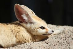 The Fennec Fox: exotic pet, famous for it's large ears and pleasant temperament