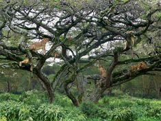 Tigers on trees