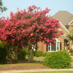 <p>Compact Crape Myrtle with Vibrant Fuchsia Blooms</p>