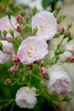 robertmealing:  Blush Noisette, Noisette rose