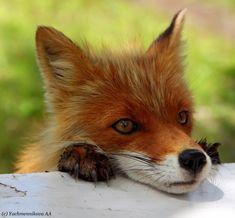 -Red fox