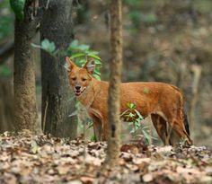 Dhole (Indian Wild Dog) (by AnayTarnekar)