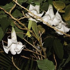 Blog Post: Moonlight Flower Essence Making on the Hawaiian Islands featuring this Angel's Trumpet beauty. Traditionally used in South American indigenous culture as a ritualistic hallucinogen for prophecy divination and communication with the unseen when used as a flower essence it offers us spiritual support. It shows that we can allow ourselves to be nourished by the inner wisdom of the heart and the spiritual world during times of deep internal shifting transformation...