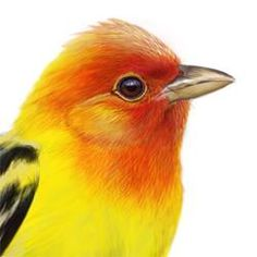 Western Tanager Head Illustration