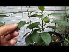 Como Plantar Maçã 02 - YouTube