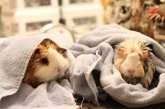 My Guineapigs. Lily & Lucy, drying off from a bath