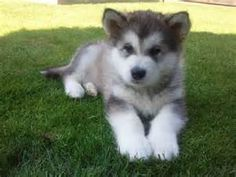 malamute quotes - Yahoo Search Results Yahoo Image Search Results