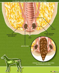 La vidange naturelle des glandes anales chez le chien