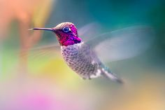 Anna's Hummingbird is a medium-sized hummingbird native to the west coast of North America. Pretty Birds, Beautiful Birds, Wonder Pets, Owl Bird, Animal Totems, Sea Birds, Little Birds, Colorful Birds, Bird Feathers