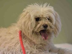 TO BE DESTROYED - 02/09/15 Manhattan Center -P ~~ SENIOR ALERT!!~~ My name is MACHO aka JEFF BECK - A1026876 I am a neutered male white and cream poodle toy and maltese mix. The shelter thinks I am about 10 YEARS old. I came in the shelter as a STRAY on 01/31/2015 from NY 10035, owner surrender reason stated was MOVE2PRIVA.