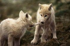 Wolf Pups Tug of War by Jim Brandenburg Animals And Pets, Baby Animals, Cute Animals, Strange Animals, Wolf Spirit, Spirit Animal, Beautiful Creatures, Animals Beautiful, Tier Wolf
