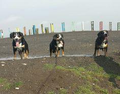 Entlebucher Sennenhund Dogs, Animals, Entlebucher Mountain Dog, Pet Dogs, Animales, Animaux, Doggies, Animal, Animais