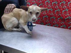 01/06/16 -  HOUSTON - -EXTREMELY HIGH KILL FACILITY - JAYCE - ID#A450390  My name is JAYCE  I am a male, brown Chihuahua - Smooth Coated mix.  The shelter staff think I am about 2 years old.  I have been at the shelter since Jan 06, 2016.  This information was refreshed 44 minutes ago and may not represent all of the animals at the Harris County Public Health and Environmental Services.