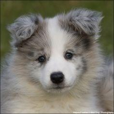 border collie pup pictures | Discussie: Border collie pup (10 weken) + extra foto's