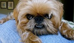 A lot of Brussels Griffons' bottom teeth poke out over their top lip. It looks so adorable.
