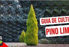 Cuidado del Pino Limón: Cómo cuidar el Pino limón en exterior e interior Flower Planters, Plantar, Christmas Ornaments, Holiday Decor, Interior, Blog, Gardening, Organic Fertilizer, Gardens