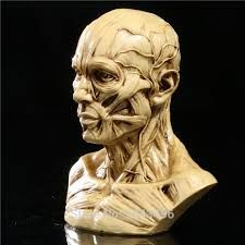 Image result for anatomy human muscle female head