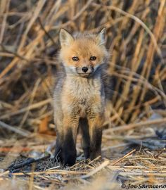 Red Fox Cub by Joe Saraceno Wild Animals, Cute Animals, Vossen, Foxy Brown, Having No Friends, Arctic Circle, Zoology, Red Fox, North Africa