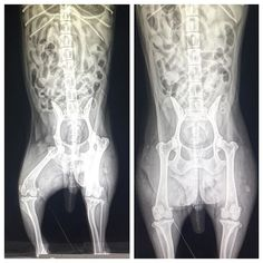 BSAH case of the day. Subluxated hip on a 16 year old toy poodle. #baystreetanimalhospital #toypoodle #subluxatedhip #poodlesofinstagram #veterinarian #vetsnobiety #vetmedworld #veterinarymedicine #vettechlife #veterinarytechnician #veterinary #vetschool #vettechstudent