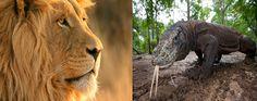Komodo Dragon vs Lion Komodo Dragon, Wild Animals, Lion, Leo, Lions, Wild Ones