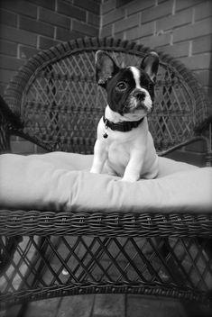 'Otis', the adorable French Bulldog Puppy