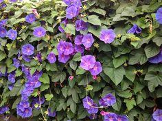 Blauwe Bloemen, Morning Glory, Klimplant, Muur Covers