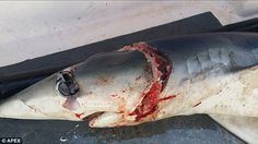 Is there a monster SHARK lurking off the coast of Cornwall?