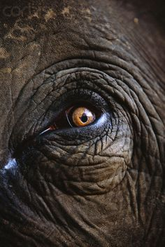 Indian Elephant's Eye - it will look into your very soul, and remember.