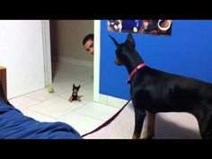 funny scared doberman, Doberman puppy scared of stuffed toy. Cute Puppy Videos, Funny Animal Videos, Cute Funny Animals, Videos Funny, Funny Dogs, Viral Videos, Weimaraner, Doberman Dogs, Doberman Pinscher