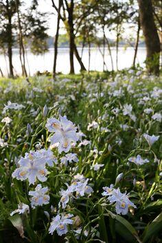 Lake Sanaru, Hamamatsu-city, Japan. シャガ Flower shade
