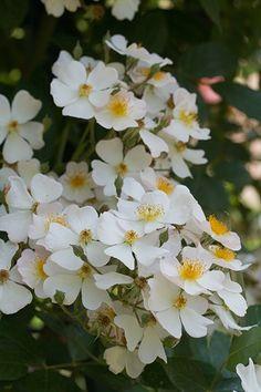 ~'Francis E. Lester' rambling rose