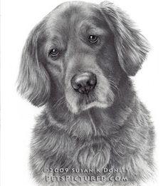 Tucker, Golden Retriever, graphite pencil drawing © Susan Donley 2009