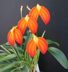 Masdevallia ignea 'Naranja' orchid species
