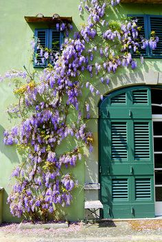 Wisteria growing on a celery-colored building in Florence, Italy. Saw this when I was there!  Beautiful!!!