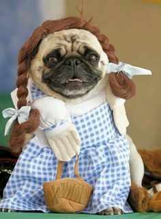 We're off to see the pug! The wonderful pug of Oz! Easy College Halloween Costumes, Cute Couple Halloween Costumes, Pumpkin Halloween Costume, Kids Costumes Boys, Diy Halloween Costumes For Kids, Halloween Decorations, Group Halloween, Halloween Makeup, Halloween Halloween