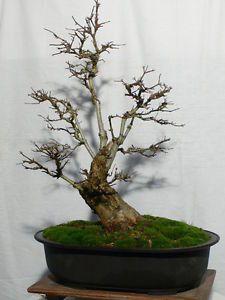 *rs Bonsai Acer buergerianum Dreispitzahorn 012