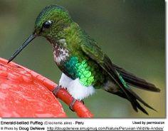 Emerald-bellied Puffleg (Eriocnemis aline) - Peru