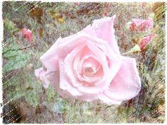 Rose auf Holz Strukturfoto