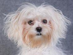 Petango.com – Meet Pip, a 11 months 12 days Maltese available for adoption in COLORADO SPRINGS, CO