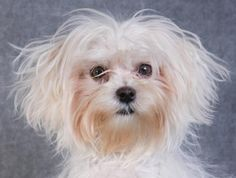 Adopt Pip, a lovely 10 months 19 days Dog available for adoption at Petango.com. Pip is a Maltese and is available at the National Mill Dog Rescue in Colorado Springs, Co. www.milldogrescue... #adoptdontshop #puppymilldog #rescue #adoptyourfriendtoday