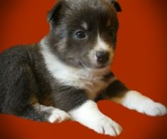 Pomsky puppies for sale uk