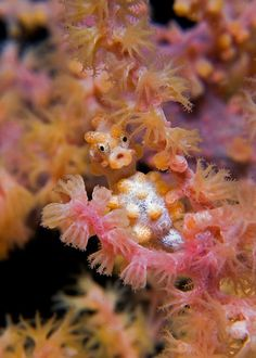 another pygmy seahorse so cute