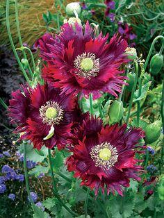 Papaver Hybridum Drama Queen Poppy Online At Annie S