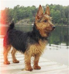 Jonty, the Australian Terrier at 7 months