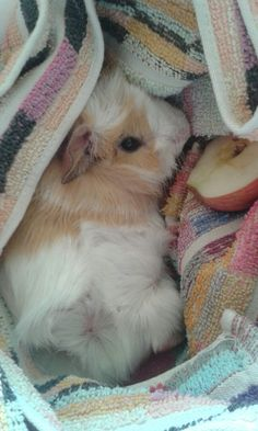 Ludwig The Bald Guinea Pig Is Winning The Internets Hearts Animal - Ludwig the bald guinea pig is winning the internets hearts