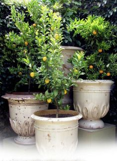 Indoor And Outdoor Gardening: I adore potted citrus trees. If you are interested in bringing the elegance of a European garden to your home, there is nothing more lovely than a French Anduze pot complete with citrus tree… art design landspacing to plant Patio Trees, Garden Trees, Trees In Pots, Trees With Flowers, Potted Flowers, European Garden, Italian Garden, Potted Plants Patio, Indoor Plants