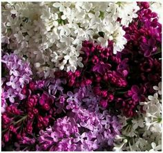 lilacs- reminds me of a wall of lilacs that grew along our driveway when I was growing up. Heavenly aroma!