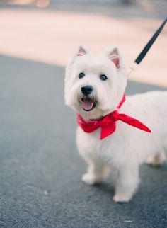 handsome westie! West Highland White Terrier puppy dog
