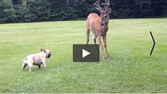 Young French Bulldog playing with a Deer...  This is sooo cute!!!